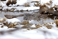 Great Grey Owl, in flight, winter, Jackson Hole, Wyoming