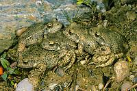 Gewöhnliche Geburtshelferkröte, Nördliche Geburtshelferkröte, Paarung, Kröte, Kröten, Alytes obstetricans, common midwife toad, with eggs, spawn, toads