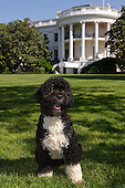 """Washington, DC - June 19, 2009 -- The official portrait of the Obama family dog """"Bo"""", a Portuguese water dog, on the South Lawn of the White House..Mandatory Credit: Chuck Kennedy - White House via CNP"""