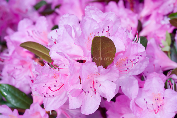Rhododendron Amy Cotta in lavender pink flowers in spring