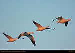 Snow Geese in Flight at Sunrise, Bosque del Apache Wildlife Refuge, New Mexico