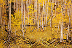 Fallen aspen leaves in autumn in the Abajo Mountains near Monticello, Utah, on the Colorado Plateau.