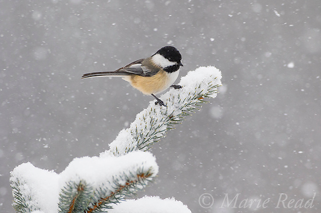 Black-capped Chickadee (Poecile atricapilla) perched on snow-covered spruce branch during snowstorm, New York, USA