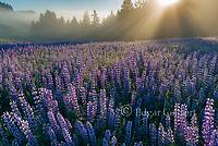Lupin, Lifting Fog, Williams Ridge, Redwood National Park, California