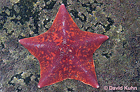 Starfish, Urchins
