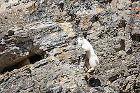 Leaping Mountain Goat, Snake River Range, Alpine Wyoming