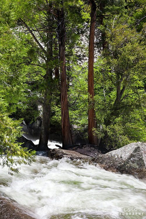 A group of sequioa trees stand in the middle of the cascade at Mist Falls on the South Fork of the Kings River in Kings Canyon National Park.