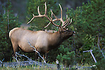 A trophy seven point Bull Elk lets loose with a bugle challenge