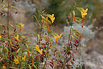 monkey flowers, Bonny Doon Ecological Reserve