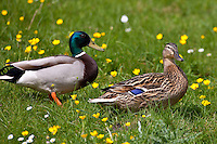 Male mallard drake and female duck pair in meadow, The Cotswolds, Oxfordshire, UK