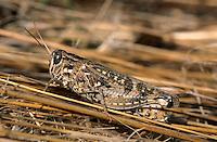 Italienische Schönschrecke, Weibchen, Calliptamus italicus, Calliptenus cerisanus, Italian locust, female