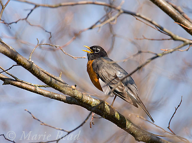 American Robin (Turdus migratorius) male singing, New York, USA