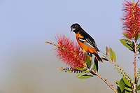 Baltimore Oriole (Icterus galbula), male feeding on Bottle Brush Blossom, Port Aransas, Texas, USA, April