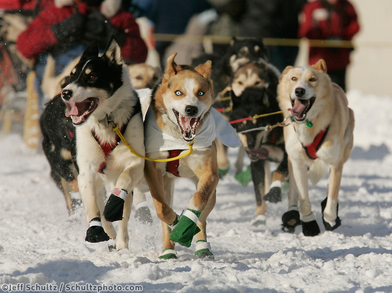 Scott Smith's lead dogs charge down 4th Avenue in Anchorage on Saturday March 1st during the ceremonial start day of the 2008 Iidtarod Sled Dog Race.