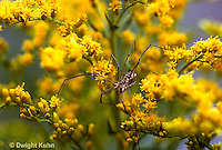 SI09-001z  Daddy Long Leg Spider on goldenrod - Harvestman