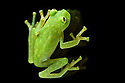 Adult bell glass frog (Cochranella nola)(Centrolenidae). Photographed on a pane of glass in mid-altitude montane rainforest, Manu Biosphere Reserve, Peru.