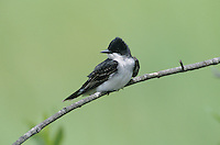 Eastern Kingbird, Tyrannus tyrannus, adult, High Island, Texas, USA, May 2001