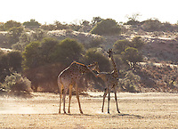 Sparring Giraffes in the Kalahari, South Africa