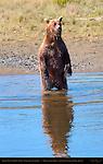 Alaskan Coastal Brown Bear Standing, Silver Salmon Creek, Lake Clark National Park, Alaska