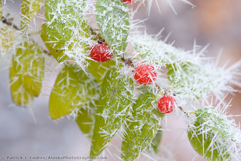 Frost on plant leaf and branches, Fairbanks, Alaska