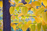 Betula luminifera birch tree with yellow autumn leaves