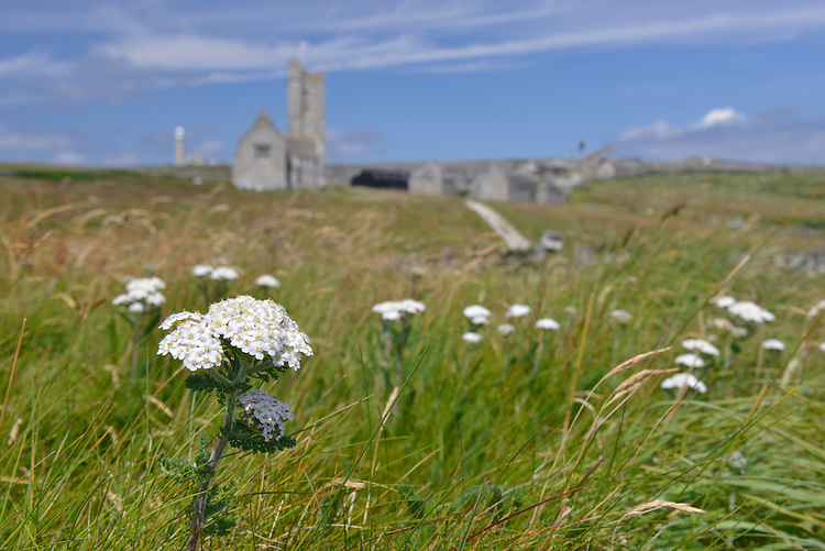 YARROW Achillea millefolium (Asteraceae) on Lundy Island, Devon. Height to 50cm. Upright, downy perennial with creeping stems and upright, unbranched and furrowed flowering stalks. The whole plant is strongly aromatic. Grows in meadows, verges and hedgerows, and on waste ground. FLOWERS are borne in heads, 4-6mm across, comprising yellowish disc florets and pinkish white ray florets; the heads are arranged in flat-topped clusters (Jun-Nov). FRUITS are achenes. LEAVES are dark green, finely divided and feathery. STATUS-Widespread and common throughout the region.