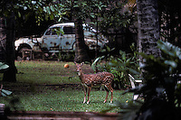 A deer in the backyard of a villa in Colombo, Sri Lanka in 1996.