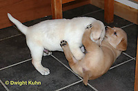SH37-514z Lab Puppies - Genetic variation of yellow and white, 4 weeks old,  Labrador Retriever..