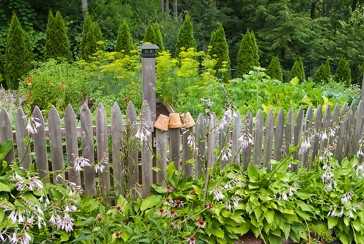 Pretty edibles picket fenced garden, lineed wiht flowering hostas and echinacea, with flowering dill, squash, tomatoes, etc, hedges of evergreen shrubs