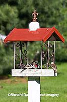 01539-01315 Rose-breasted Grosbeaks (Pheucticus ludovicianus) on bird feeder, Marion Co.  IL