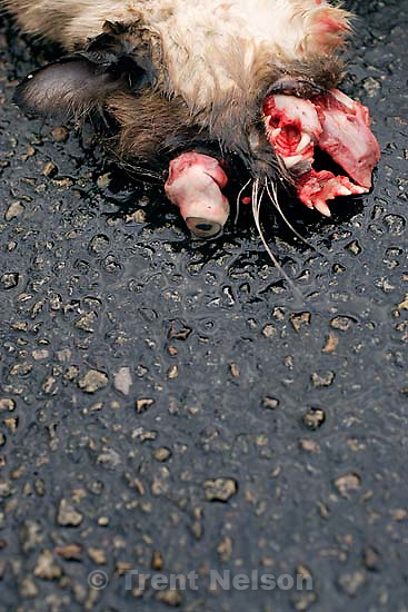 Roadkill dead cat, Moab;&amp;#xA;2.22.2005<br />