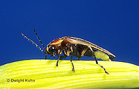 1C24-020z  Firefly - Lightning Bug - Male - Photuris spp.