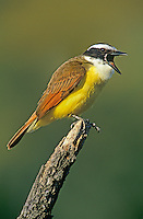 554810013 a wild greatkiskadee pitangus sulphuratus calls out from atop a dead mesquite tree stump on a private ranch in the rio grande valley of south texas
