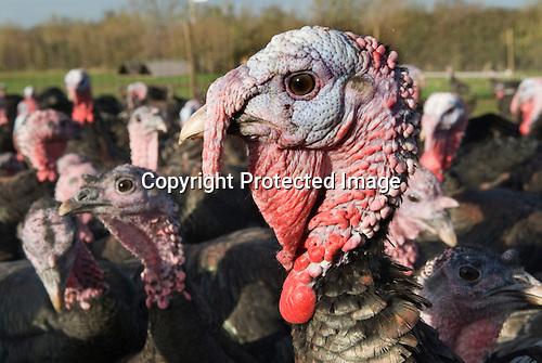 Free range turkeys Fosse Meadow Farm Leicestershire UK