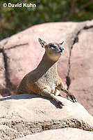 0604-1101  Klipspringer (Rock Jumper Antelope), Small Antelope on Boulders, Oreotragus oreotragus  © David Kuhn/Dwight Kuhn Photography