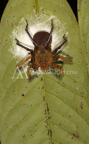 A huntsman spider photographed on a clutch of eggs during a night walk in Borneo.
