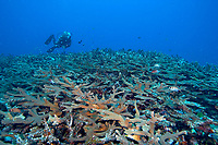 A diver next to the pristine hard coral on the top of the reef, Kaplaman reef, Kavieng, Pacific ocean, Papua New Guinea, Asia