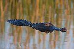American Alligator (Alligator mississipiensis), Viera, Florida, USA
