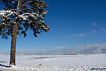 Ponderosa Pine stands alone on the Rathdrum prairie in winter