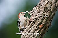 01196-03317 Red-bellied Woodpecker (Melanerpes carolinus) female on snag, Marion Co., IL