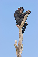 Germany, DEU, Muenster, 2006-Sep-21: A chimpanzee (pan troglodytes) sitting on the top of a dead tree in the Muenster zoo.