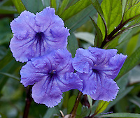Purple triplet flowers, Tropical flowers, Miami nature<br /> <br /> CLICK ON ADD TO CART ABOVE TO SEE AVAILABLE STYLES, SIZES AND PRICES