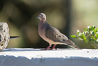 Eared Dove, Zenaida auriculata, perched on a wall at San Jorge de Quito eco-lodge, Quito, Ecuador