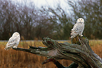 Snowy Owls (Bubo scandiacus) Female or Juvenile, sitting on Driftwood Stump at Boundary Bay Regional Park, Delta, BC, British Columbia, Canada - aka Arctic Owl, Great White Owl or Harfang.  Note Owl Head rotated almost 180 degrees.