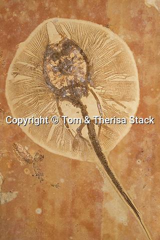 Fossil freshwater stingray, Heliobatis radians, Lower Eocene, 50 million years old, Wyoming
