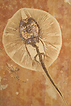 Fossil freshwater stingray, Heliobatis radians, Lower Eocene, 50 million years old, Wyoming