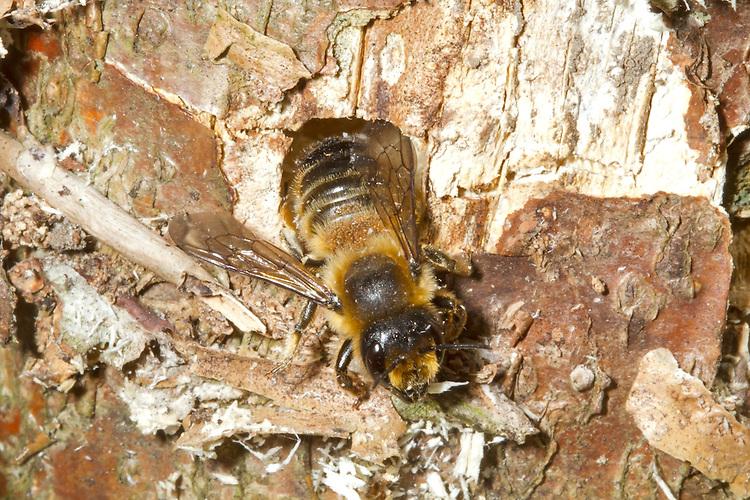 Wood-carving Leaf-cutter Bee - Megachile ligniseca