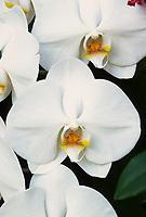 Phalaenopsis Medford Star, Classic White Moth Orchid hybrid of Joseph Hampton x Celie, 1988
