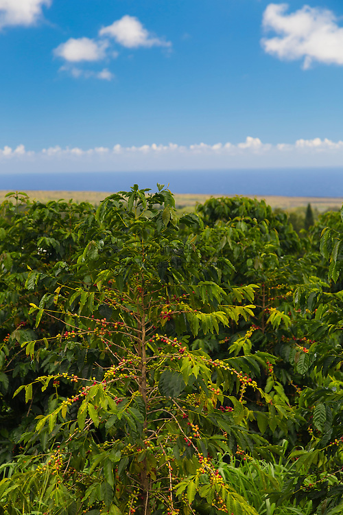 The coffee plantation at the Ka'u Coffee Mill, in the district of Ka'u on the Big Island of Hawaii, USA, America