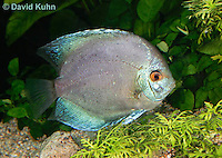 0116-0902  Blue Discus (Blue Turquoise Discus), Symphysodon aequifasciata  © David Kuhn/Dwight Kuhn Photography.